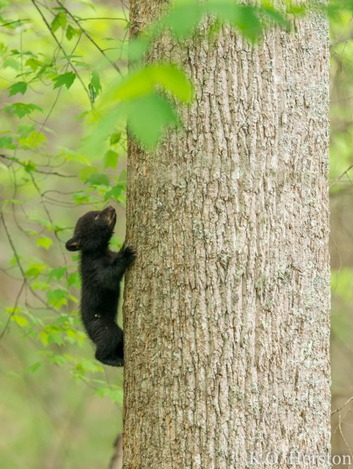 Smoky Mountain Cub