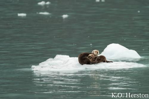 sea otter nursing pup