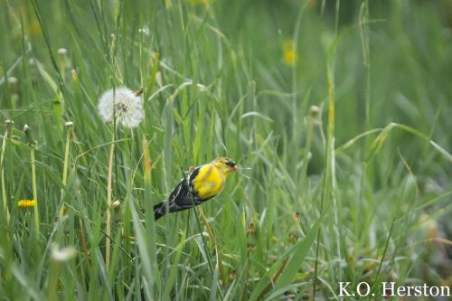 goldfinch dandelion